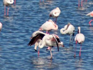 flamants hyeres