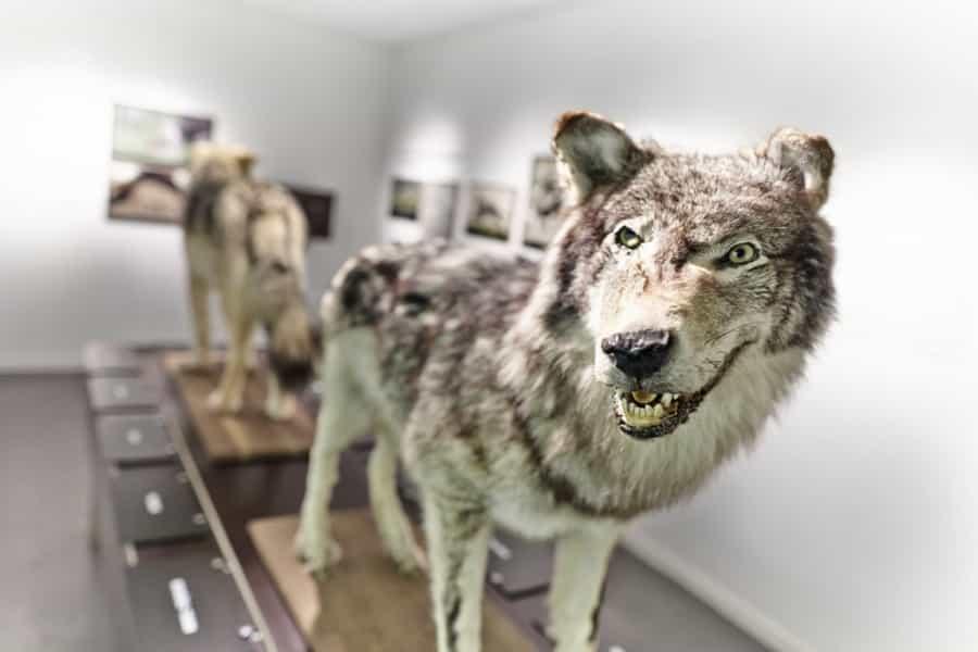 Visite inoubliable du musée du loup à Finistère Nord